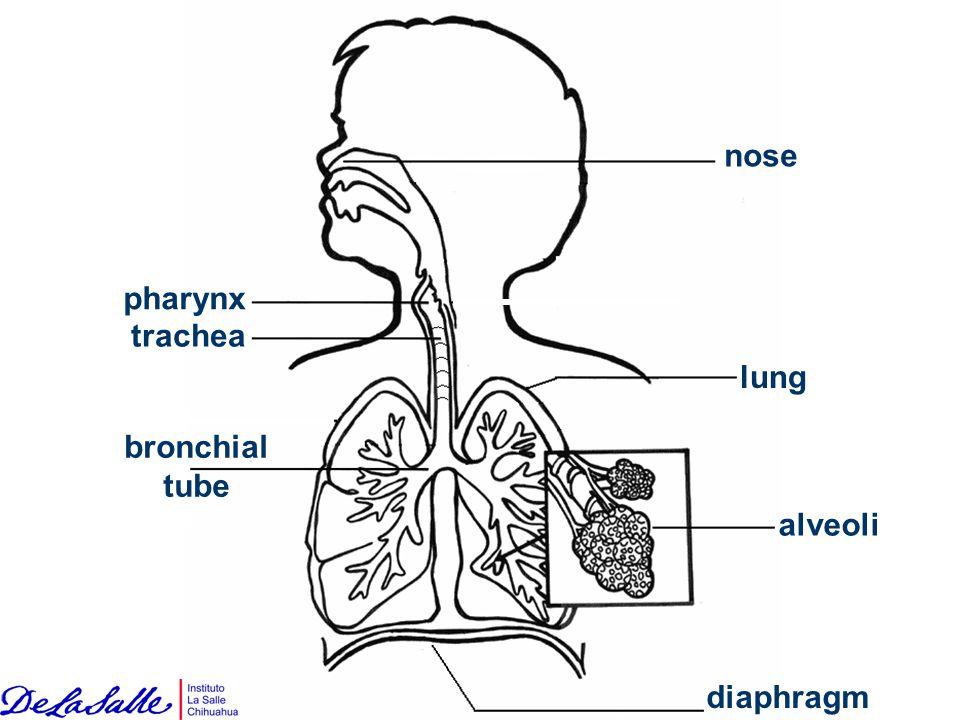 nose pharynx trachea lung bronchial tube alveoli diaphragm