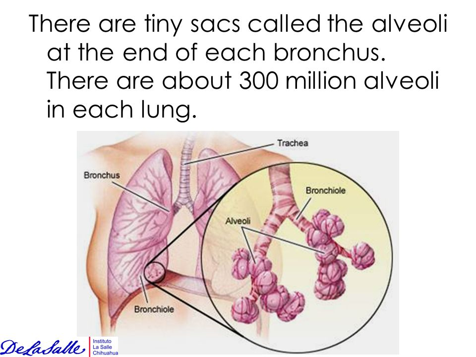 There are tiny sacs called the alveoli at the end of each bronchus