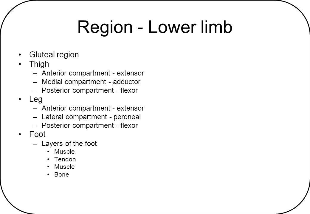 Region - Lower limb Gluteal region Thigh Leg Foot