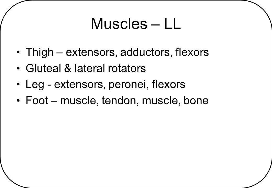 Muscles – LL Thigh – extensors, adductors, flexors