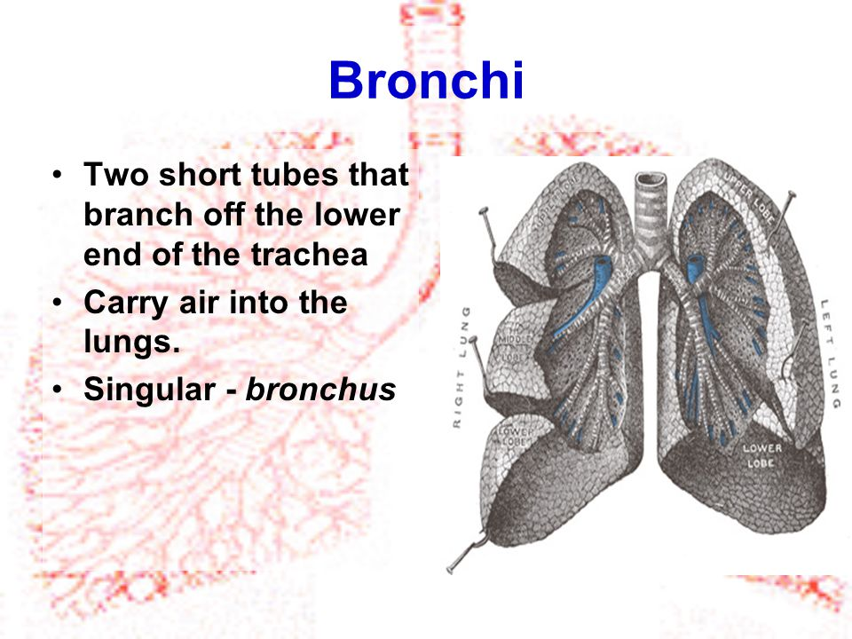 Bronchi Two short tubes that branch off the lower end of the trachea