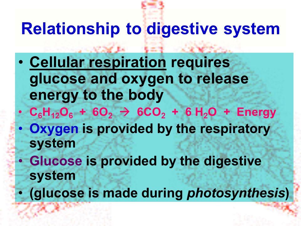 Relationship to digestive system