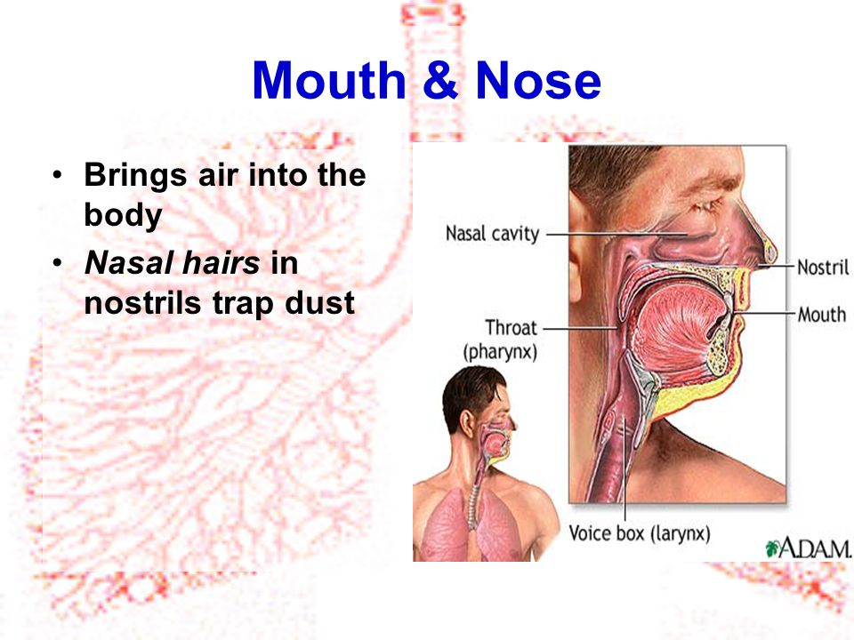 Mouth & Nose Brings air into the body