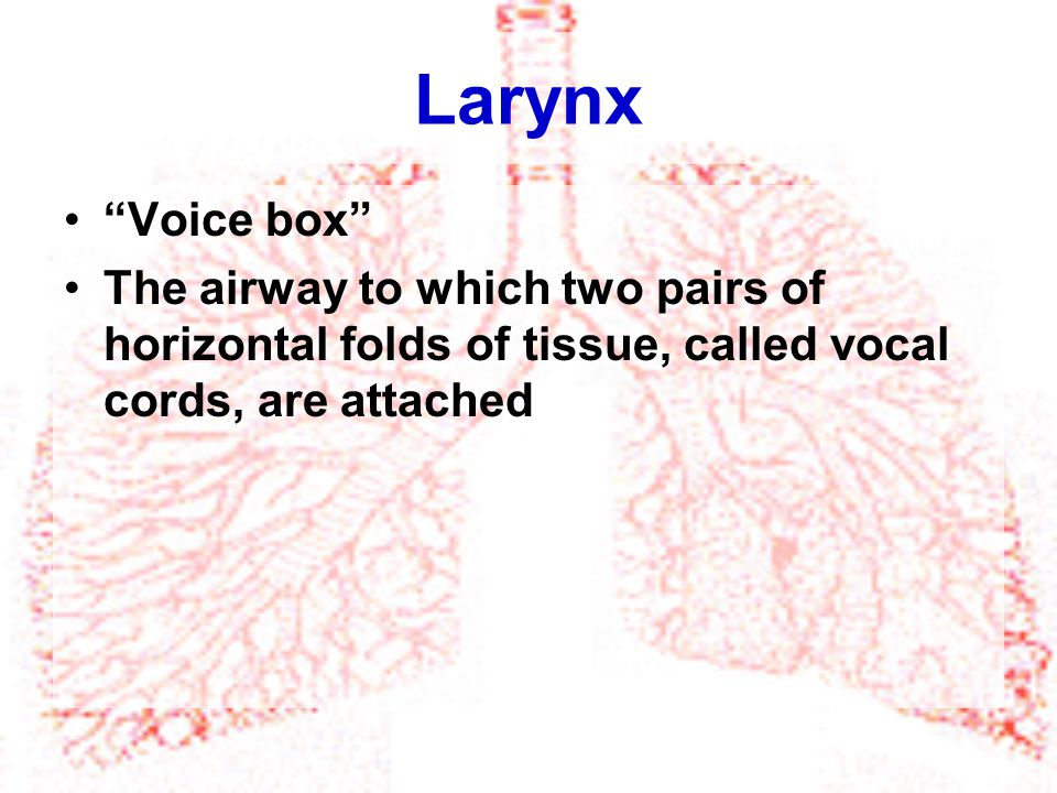 Larynx Voice box The airway to which two pairs of horizontal folds of tissue, called vocal cords, are attached.