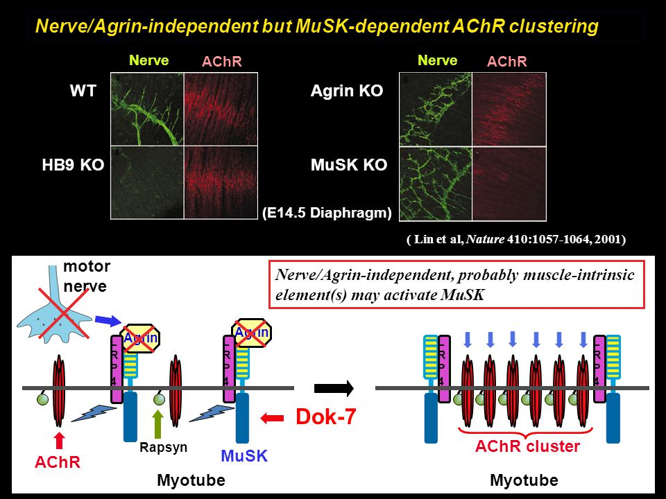 Dok-7 Nerve/Agrin-independent but MuSK-dependent AChR clustering WT