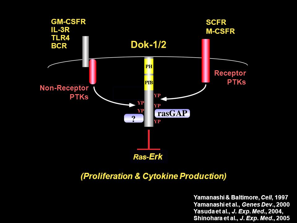 Dok-1/2 Dok-1/2 (Proliferation & Cytokine Production) GM-CSFR IL-3R