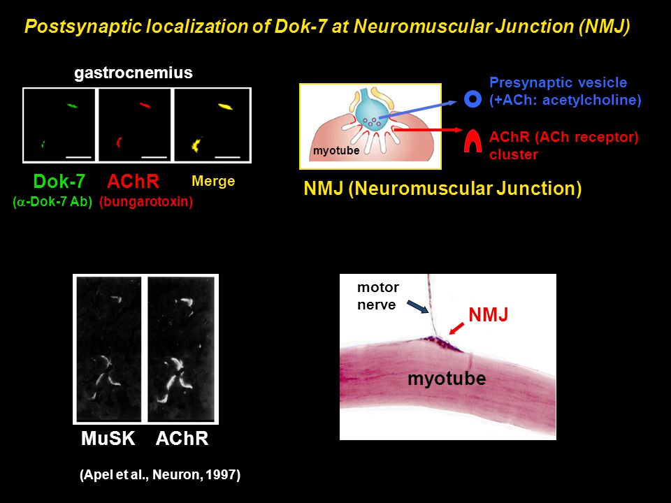 Postsynaptic localization of Dok-7 at Neuromuscular Junction (NMJ)