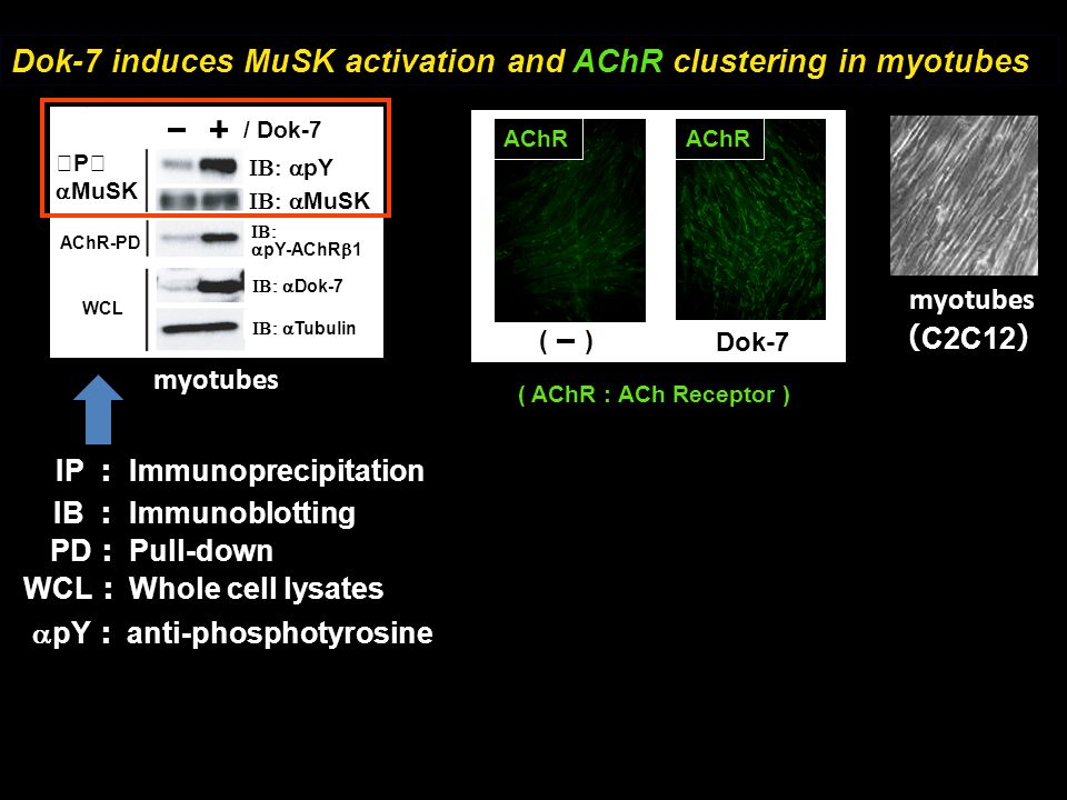 Dok-7 induces MuSK activation and AChR clustering in myotubes