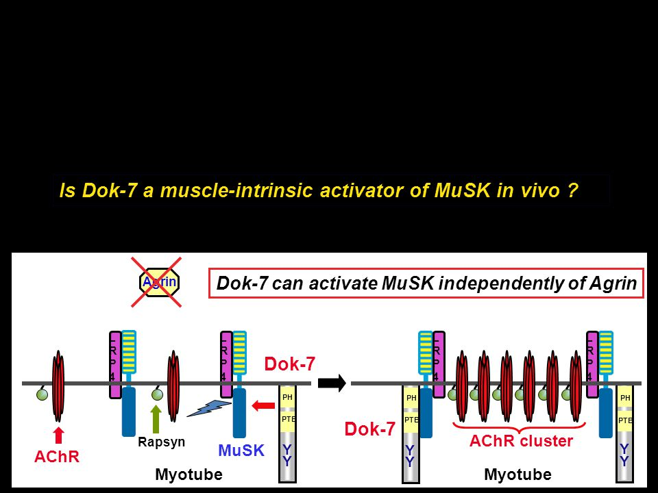 Is Dok-7 a muscle-intrinsic activator of MuSK in vivo