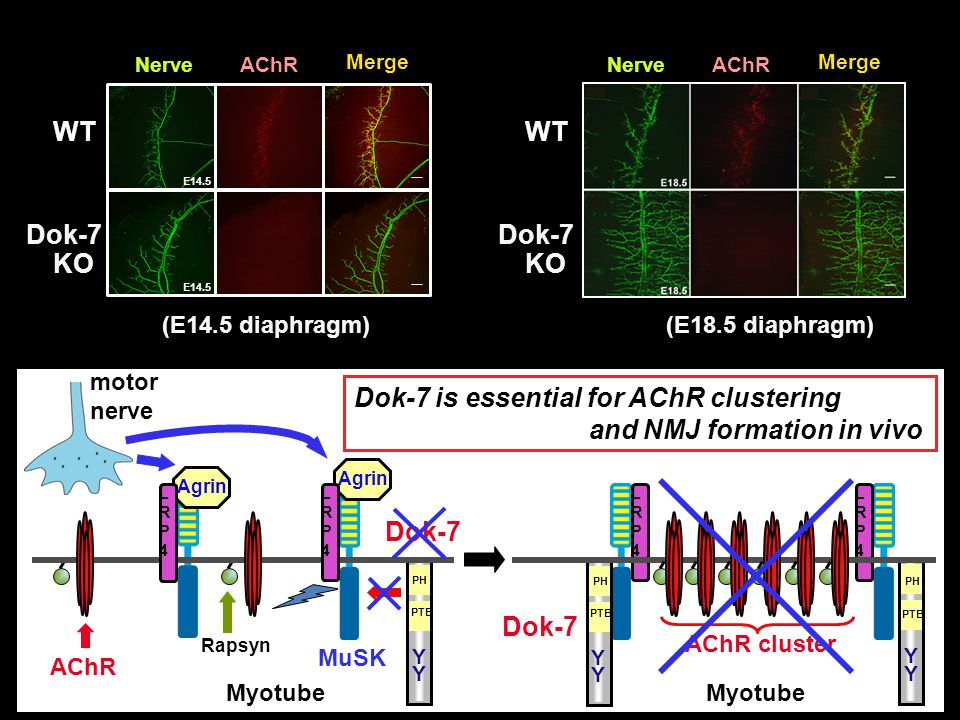 Dok-7 is essential for AChR clustering and NMJ formation in vivo