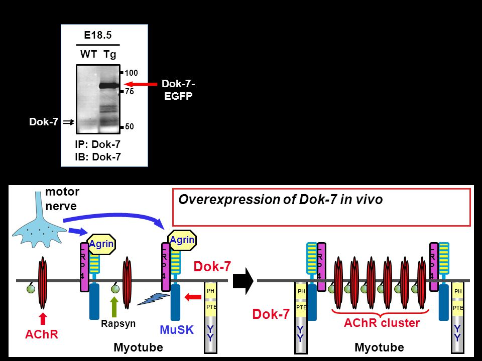 Overexpression of Dok-7 in vivo