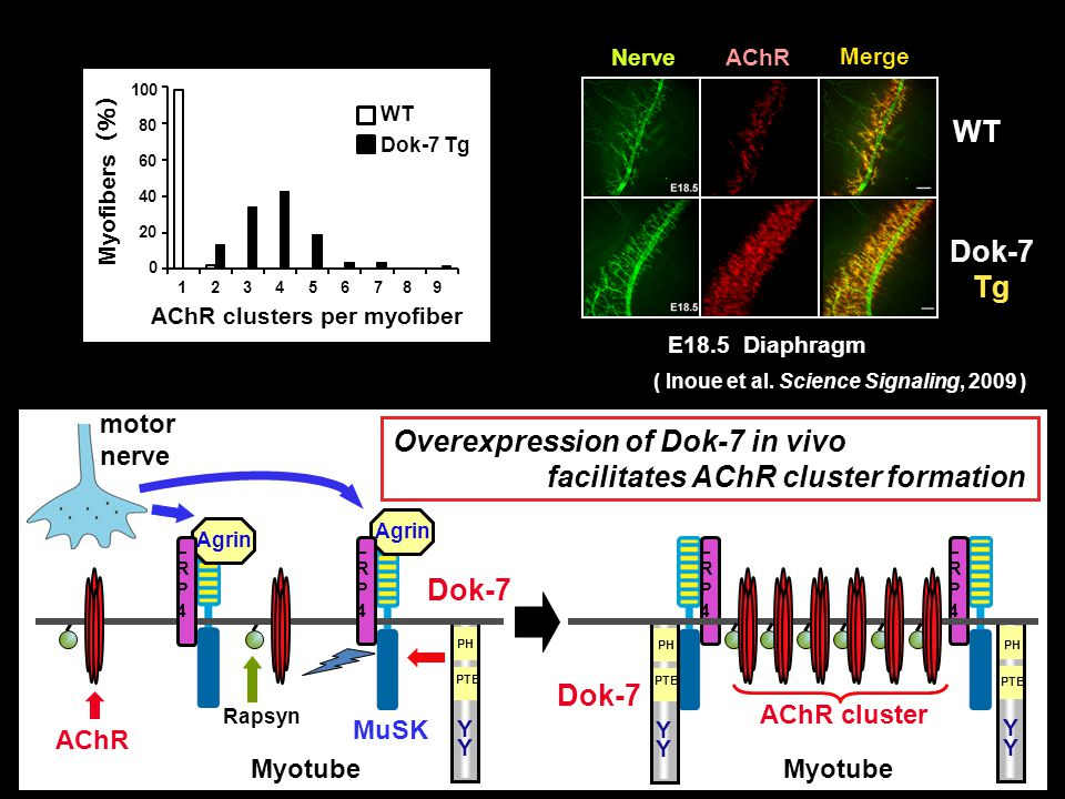 Overexpression of Dok-7 in vivo facilitates AChR cluster formation