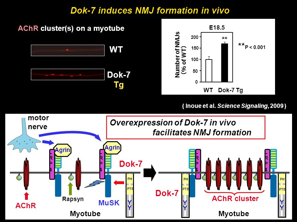 Dok-7 induces NMJ formation in vivo