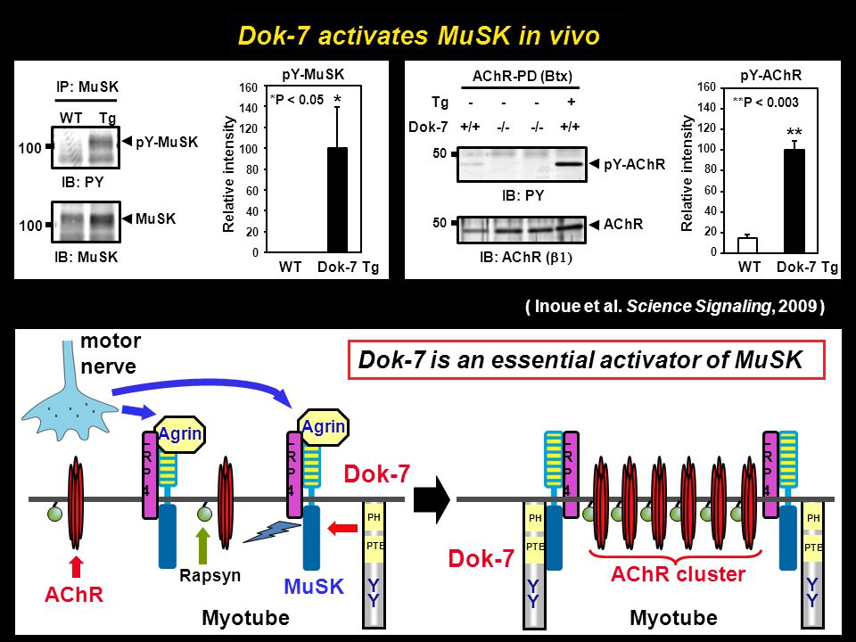 Dok-7 activates MuSK in vivo