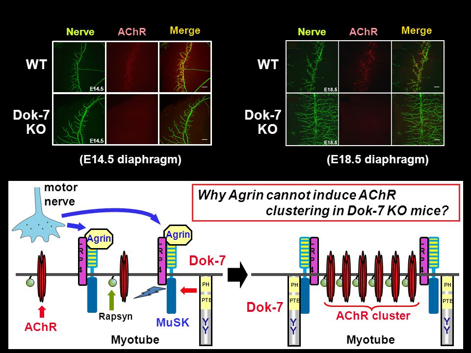 Why Agrin cannot induce AChR clustering in Dok-7 KO mice