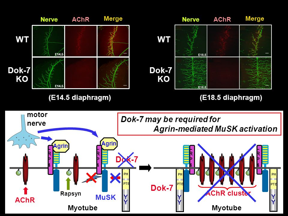 Dok-7 may be required for Agrin-mediated MuSK activation