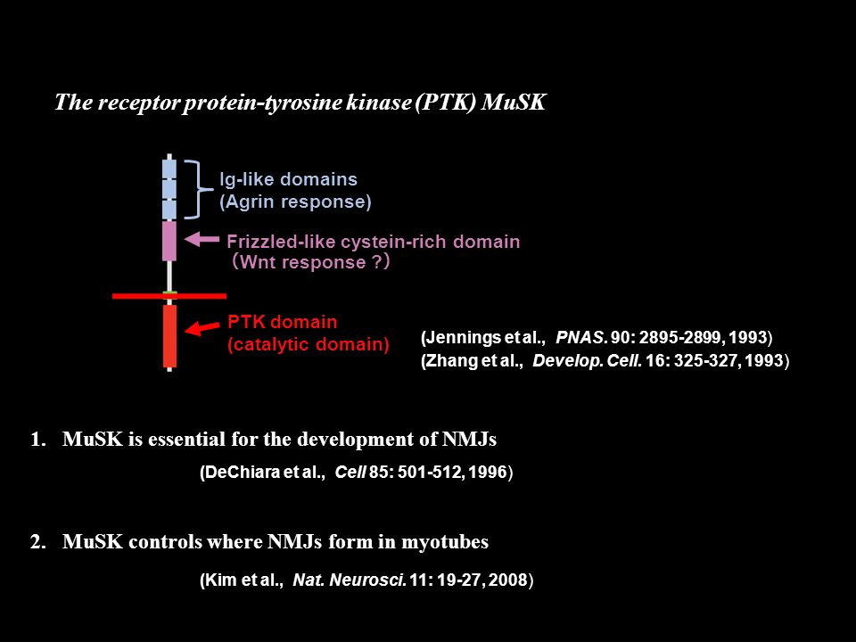 The receptor protein-tyrosine kinase (PTK) MuSK