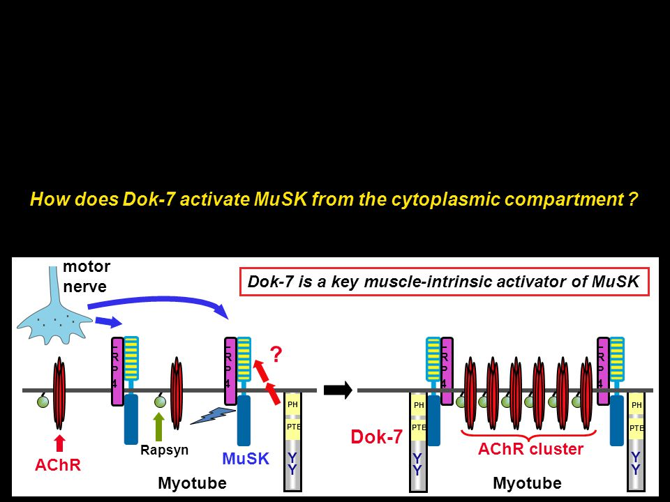 How does Dok-7 activate MuSK from the cytoplasmic compartment