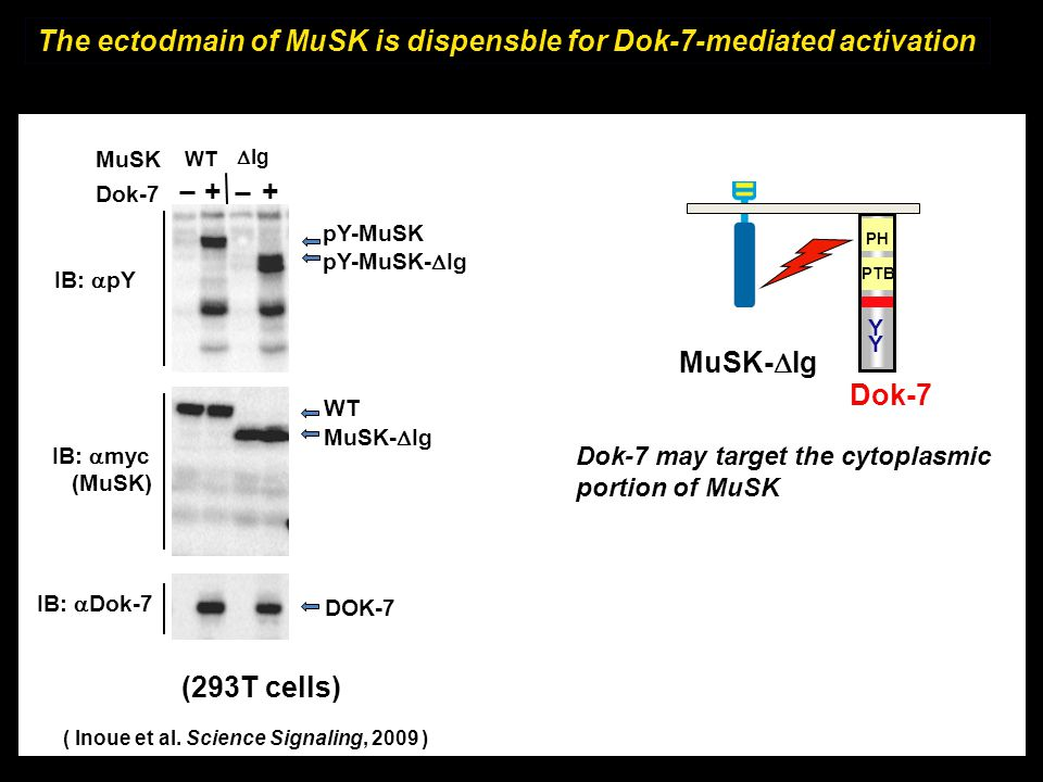 The ectodmain of MuSK is dispensble for Dok-7-mediated activation