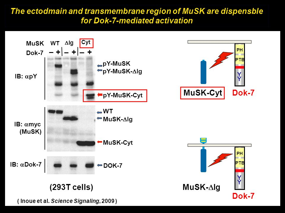 The ectodmain and transmembrane region of MuSK are dispensble for Dok-7-mediated activation
