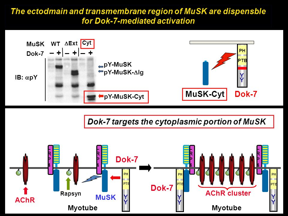 Dok-7 targets the cytoplasmic portion of MuSK