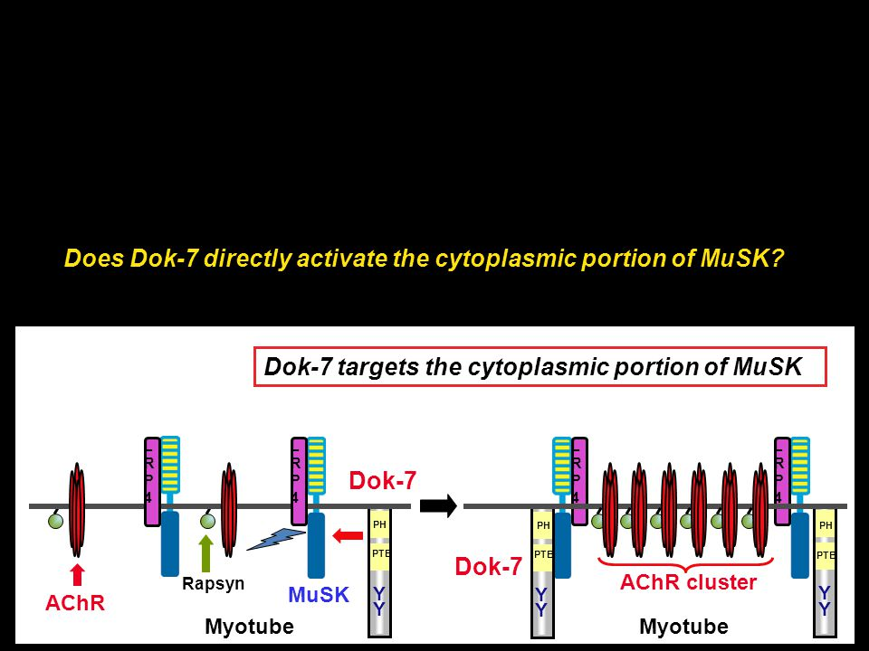 Does Dok-7 directly activate the cytoplasmic portion of MuSK