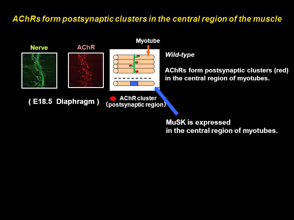 AChRs form postsynaptic clusters in the central region of the muscle