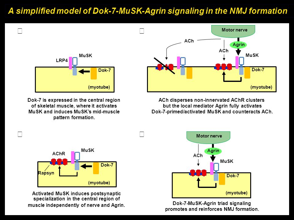 A simplified model of Dok-7-MuSK-Agrin signaling in the NMJ formation