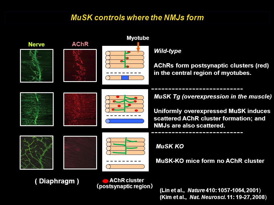 MuSK controls where the NMJs form (postsynaptic region)