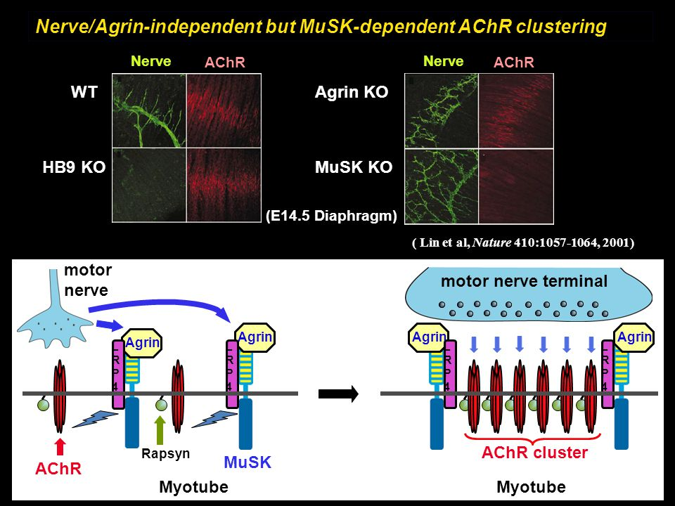 Nerve/Agrin-independent but MuSK-dependent AChR clustering