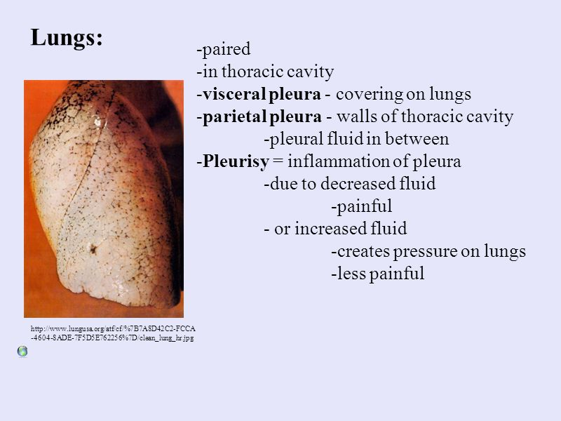 Lungs: -paired -in thoracic cavity