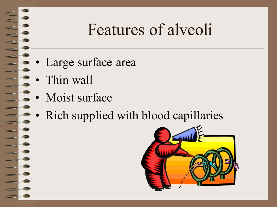 Features of alveoli Large surface area Thin wall Moist surface