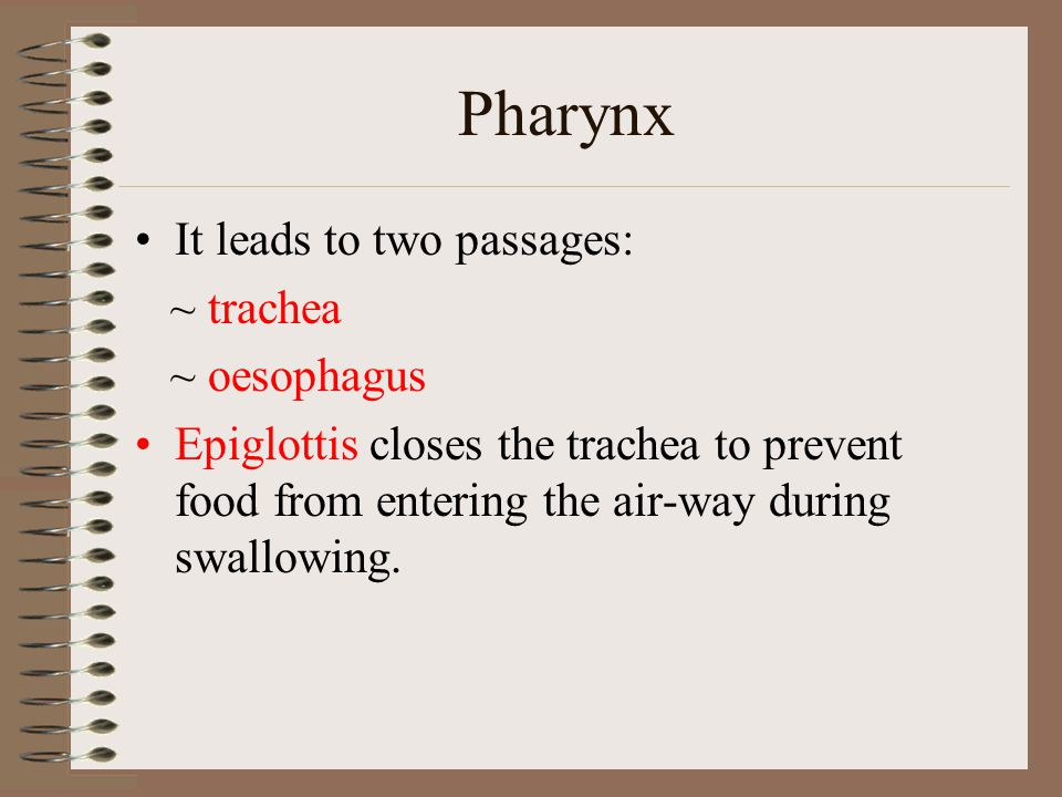 Pharynx It leads to two passages: ~ trachea ~ oesophagus