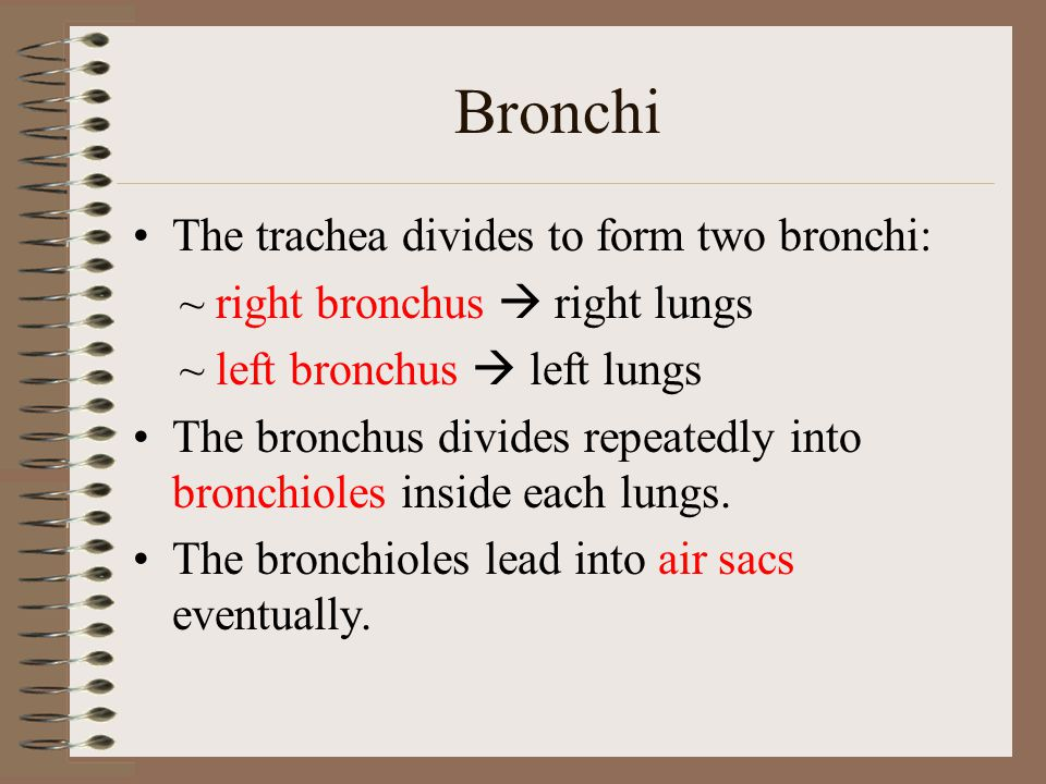 Bronchi The trachea divides to form two bronchi:
