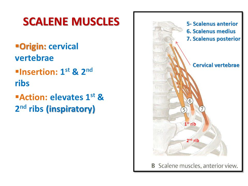 SCALENE MUSCLES Origin: cervical vertebrae Insertion: 1st & 2nd ribs