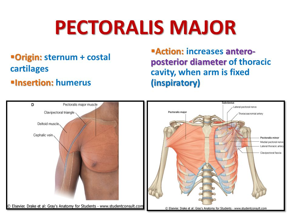 PECTORALIS MAJOR Action: increases antero-posterior diameter of thoracic cavity, when arm is fixed (inspiratory)