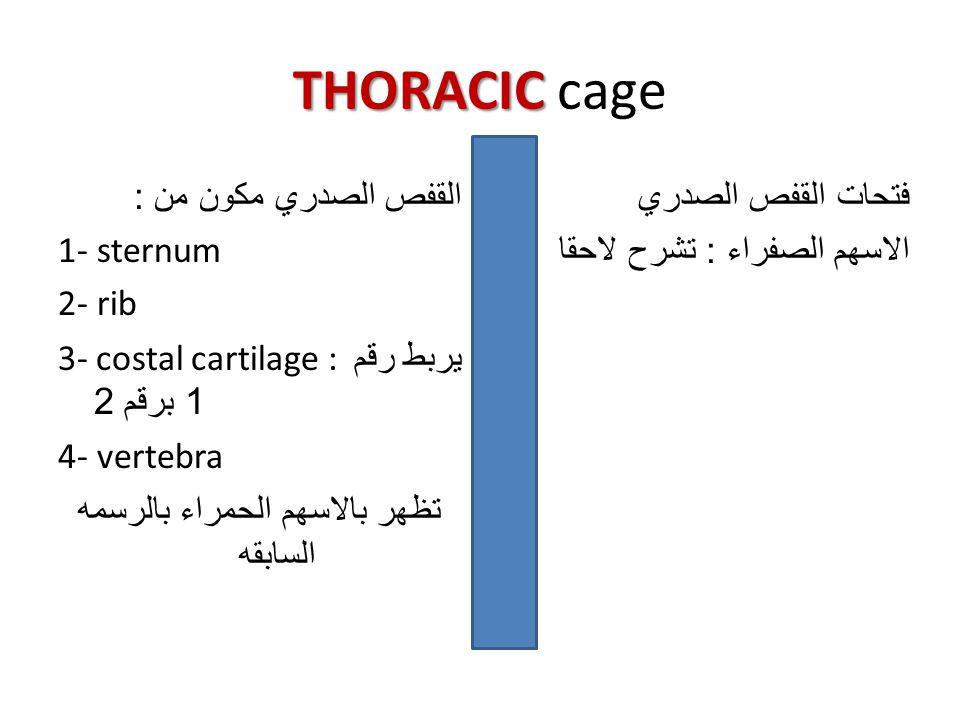 THORACIC cage القفص الصدري مكون من : 1- sternum 2- rib 3- costal cartilage : يربط رقم 1 برقم 2 4- vertebra تظهر بالاسهم الحمراء بالرسمه السابقه