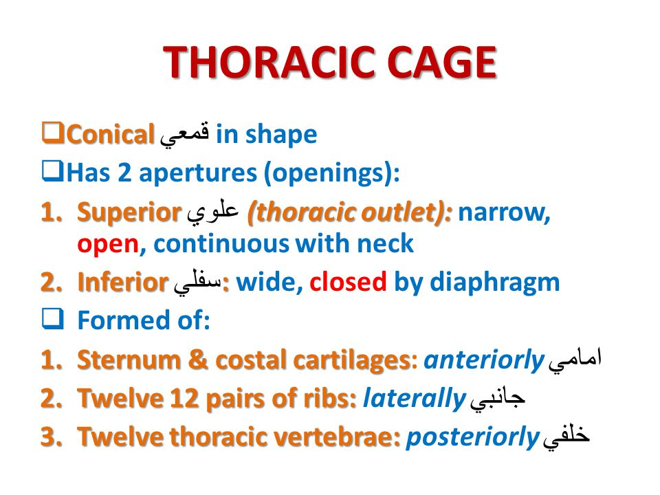 THORACIC CAGE Conical قمعي in shape Has 2 apertures (openings):