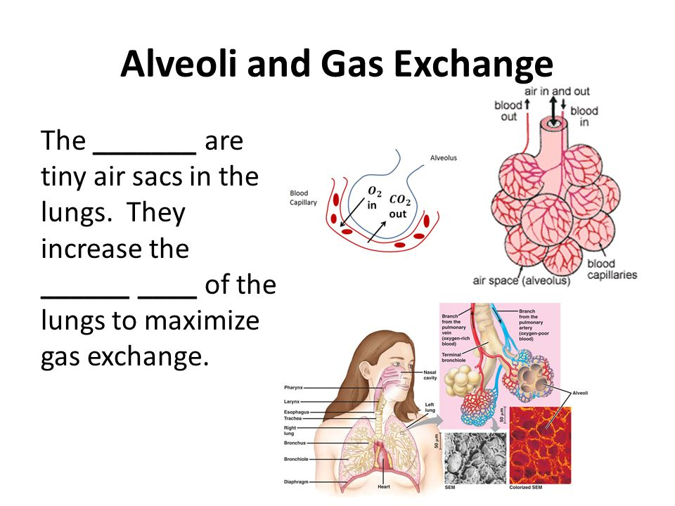 Alveoli and Gas Exchange