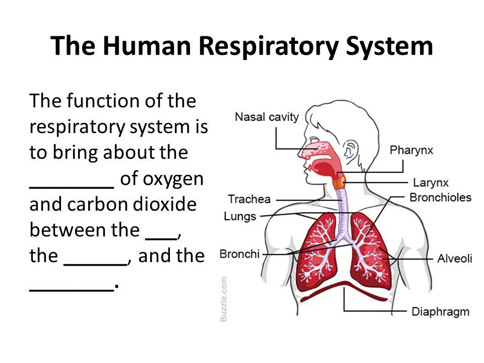 Respiratory System  Human Anatomy
