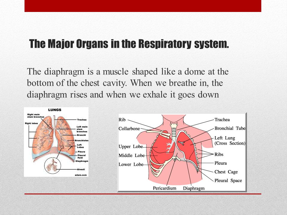 The Major Organs in the Respiratory system.