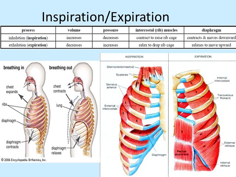 Inspiration/Expiration