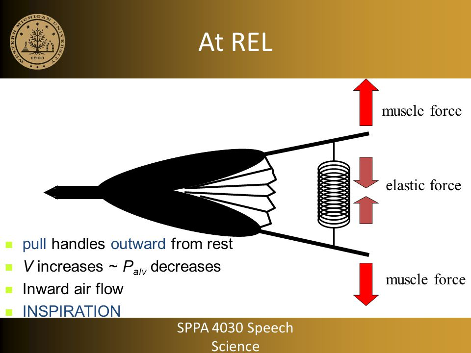 At REL muscle force elastic force pull handles outward from rest