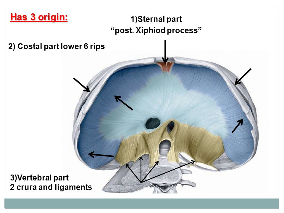 1)Sternal part post. Xiphiod process