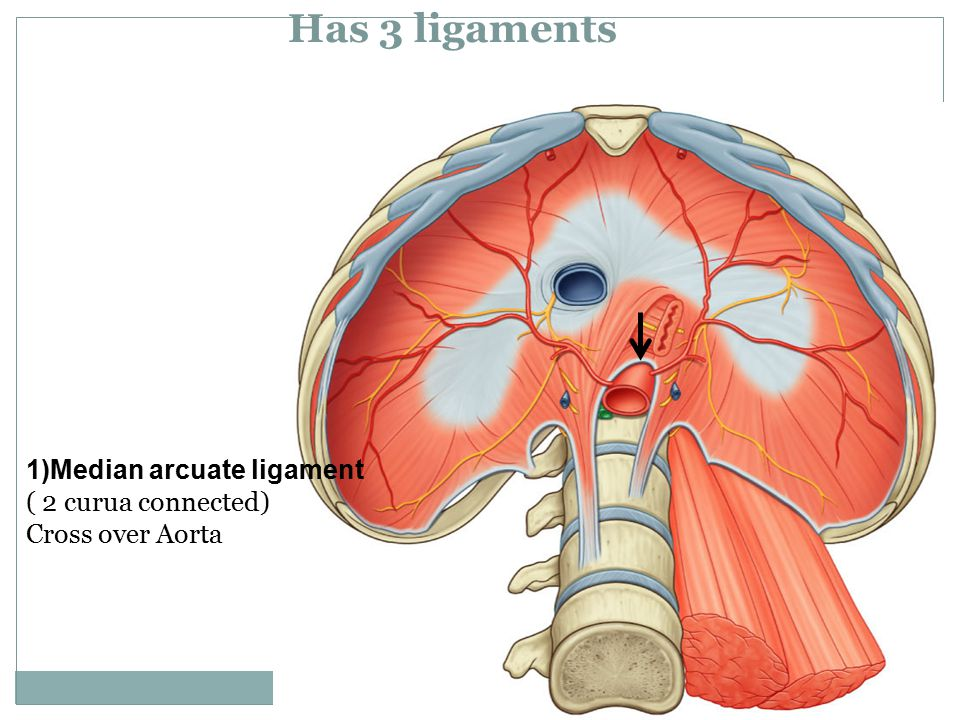 Has 3 ligaments 1)Median arcuate ligament ( 2 curua connected)