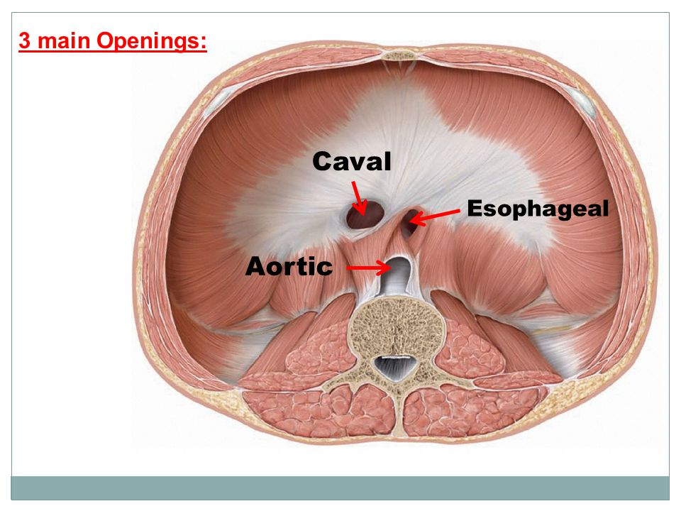 3 main Openings: Caval Esophageal Aortic
