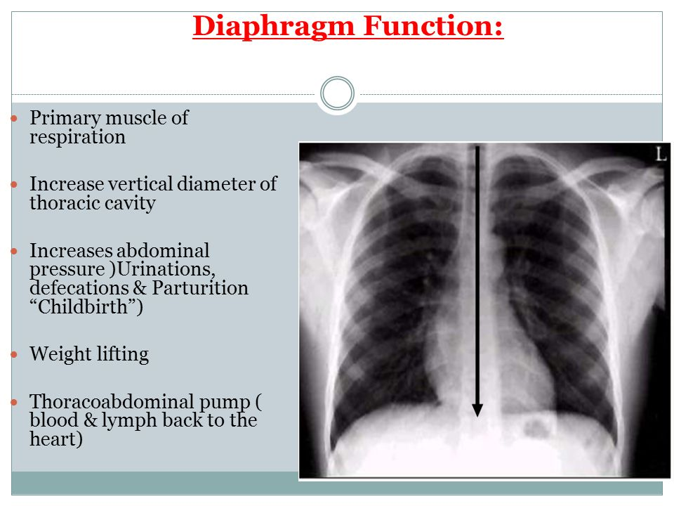Diaphragm Function: Primary muscle of respiration