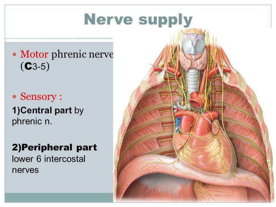 Nerve supply Motor phrenic nerve (C3-5) Sensory :