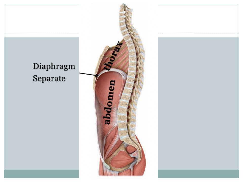 thorax Diaphragm Separate abdomen