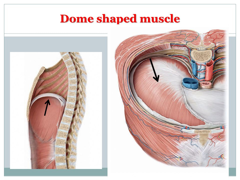 Dome shaped muscle
